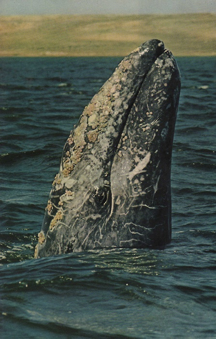SPEAK OUT!  Tell Sakhalin Energy to Halt its Oil Exploration Plans in the Gray Whale Habitat!  Sakhalin Energy plans to build an oil platform by the feeding grounds of the Western gray whale, threatening their survival!  JUST SAY NO!  PLZ Sign  Share!