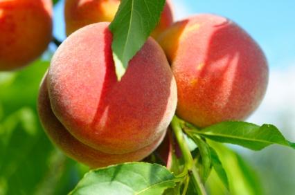 Peach tree - Okanagan #youarehere