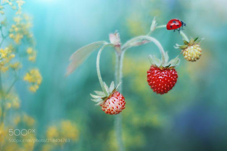 Fragaria vesca (Elena Andreeva / Moscow) #Canon EOS 100D #macro #photo #insect #nature