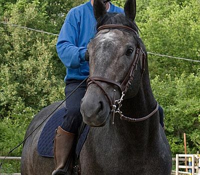 The Ventasso Horse breed was formed through the interbreeding of local horses with the Lipizzaner and the Maremmano. Until the 1940s the horses were supplied to the military. Today it is used as a general riding horse and as a competition sport horse. It is critically endangered, with less than 50 purebred horses remaining. Img: IL PORTALE DEL CAVALLO - razze equine