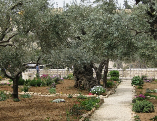 The garden of gethsemane where there are hundreds of for Age olive trees garden gethsemane