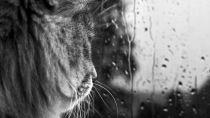Vorschau von Katze, Gesicht, Glas, Tropfen, schwarz und weiß