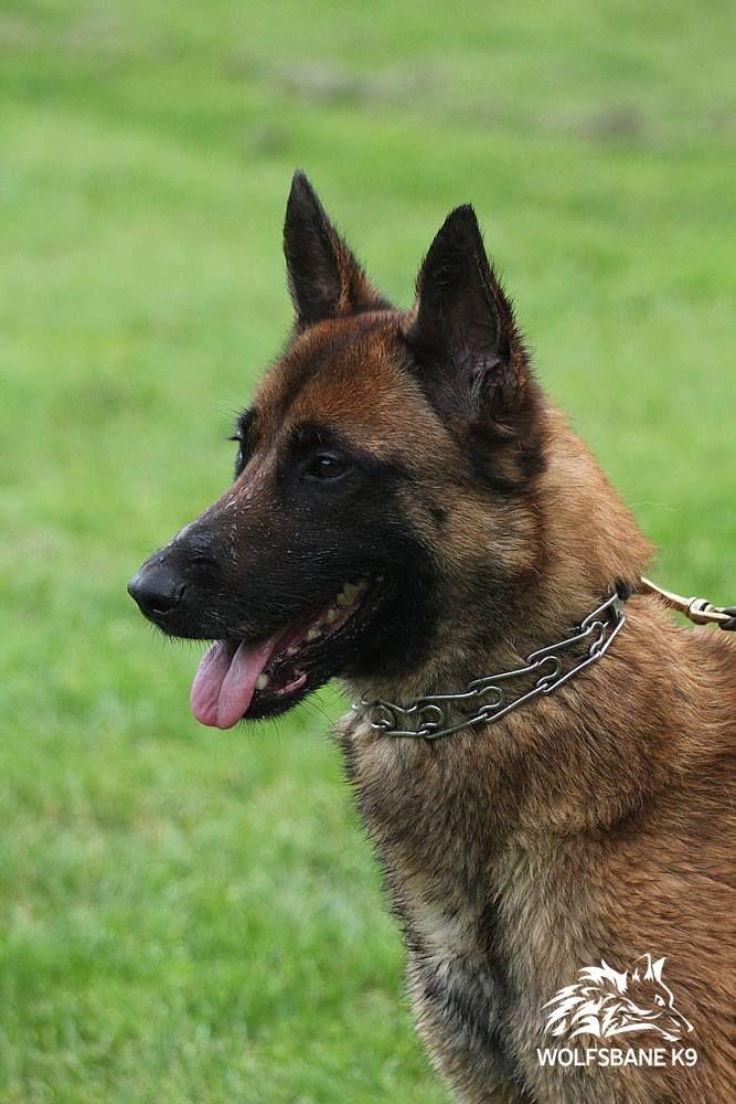 Www Wolfsbanek9 Com Belgian Malinois Personal Protection K9 Mechelse Herder