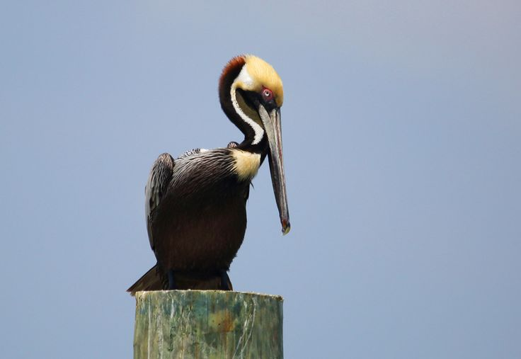 Brown Pelican - Tybee Island  Georgia
