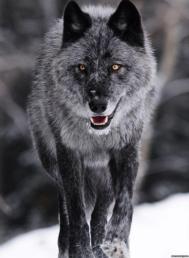 Картинки красивые волки фэнтези лучше работает