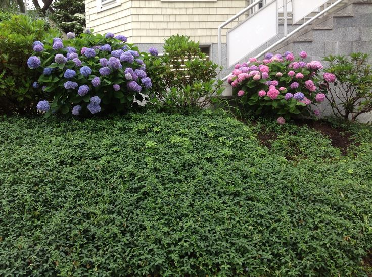 Pink And Blue Hydrangea Side By Side
