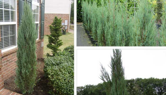 23 best images about screening plants on pinterest for Tall evergreen trees for small gardens