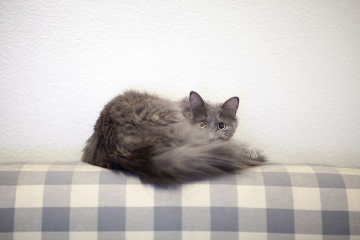 Dealing with cat hair doesn't have to take up the majority of your day. Find out how to mange your adult cat's shedding with these tips from Petcha.