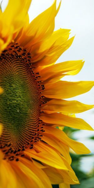 "flowersgardenlove: ""sunflower… Flowers Garden Love """