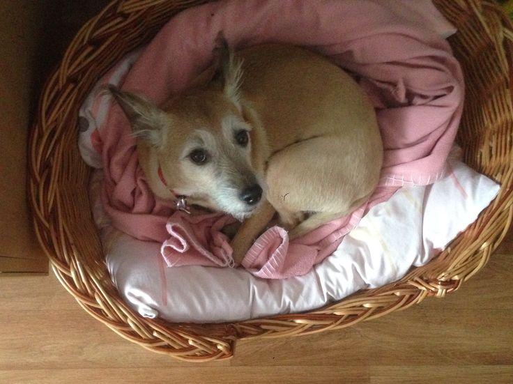 """Oh fionko na mnie spojrzała i mowi """" mamuś pomoz mi przykryć z tej rozowe kocyka , bo mnie jest zimno"""" oh dobrze dobrze moja mała lalka fionko 😄😁😘😍❤️ Oh fionko he looked at me and says, """"Mommy help me cover this pink blanket, for me it's cold,"""" oh well well my little doll fionko 😄😁😘😍❤️#relax #rest #love #dogs #dog🐶 #happy #dog #smile #beautifull ❤️"""