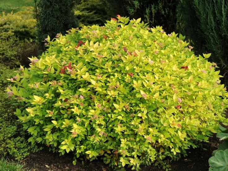 Spiraea japonica 'Gold Mound' | Plant: Spiraea japonica ...