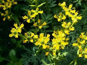 "50 YELLOW RUE (Herb of Grace / Common Rue) Ruta Graveolens Herb Flower Seeds by Seedville. $1.35. PLANT HEIGHT:  18 - 24""  . . .   PLANT SPACING:  15 - 18"". This Rue has bluish green fragrant evergreen foliage. It is an ornamental herb that tolerates heat and dryness well. It has medicinal properties and is also used as an insect repellent.. BLOOM TIME:  Mid Summer. LIGHT REQUIREMENTS:  Sun  . . .  SOIL / WATER:  Average - Dry. HARDINESS ZONE:  3 - 11. * There are m..."