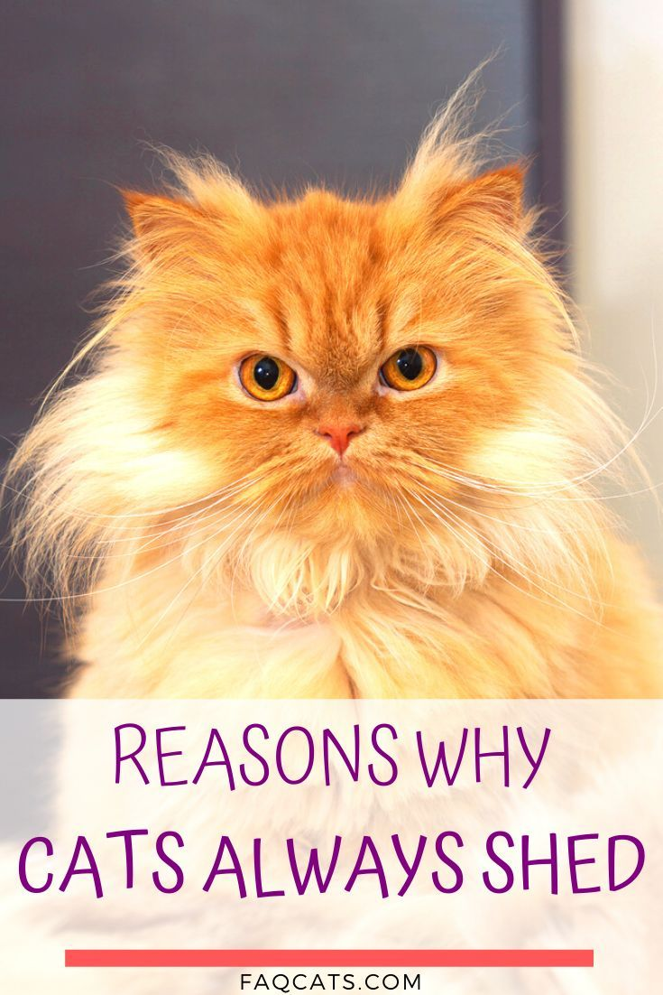 Tabby Cats And Shedding 13 Things You Should Know In 2020 Tabby Cat Cute Cats And Kittens Tabby