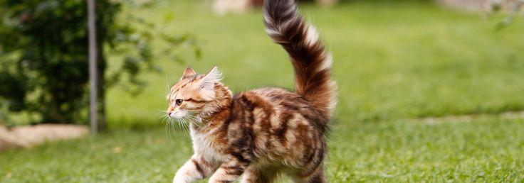 Und desto wahrscheinlicher eine folgende Attacke, wenn das Gegenüber sich nicht schleicht. Andere Katzen, schon die jüngsten, wissen das. Und umgehen erwachsene Tiere, die aufrecht im Weg stehen und den beinahe waagrecht stehenden Katzenschwanz peitschen lassen, ohne Blickkontakt. Weil der Schwanz auf weite Sicht deutlich zu erkennen ist, dient er Katzen als Fern-Signal, um die Grundstimmung der anderen auszumachen.