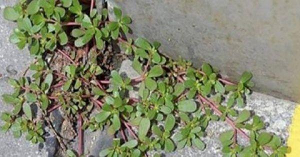 Υγεία - Μπορεί να περνάτε πάνω από αυτό το φυτό κάθε μέρα και να μην το συνειδητοποιείται. Ακριβώς κάτω από τα πόδια σας μπορεί κάλλιστα να βρίσκεται ένα ισχυρό εν