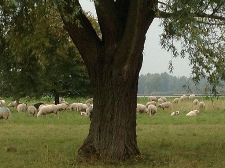 We reden langs de Noorderplassen en daar was een kudde schapen aan het grazen...prachtig!