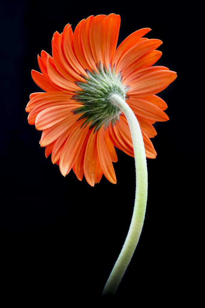~~Gerbera Daisy by Julia C. F~~