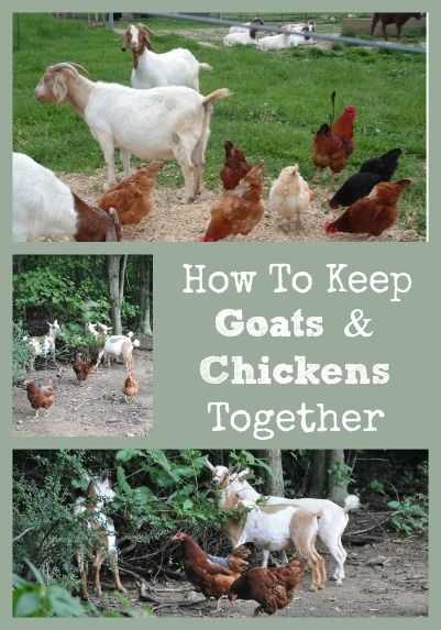 Describes how keeping goats & chickens in the same yard together is possible if special care practices are followed.: