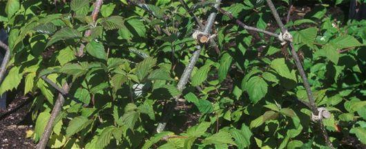 Dyrking av bringebær - Mai, Vår, Frukthage, Bær, Tre- Og Buskpleie