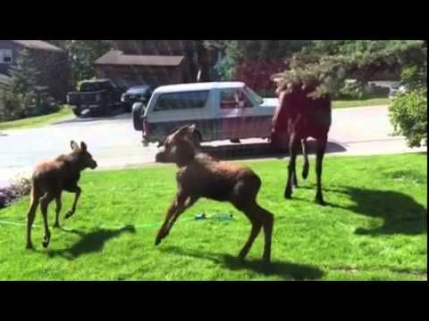 This Moose Family Is Having The Best Day Ever, Thanks To Some Kind People - NewsLinQ