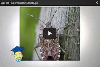 Do stink bugs smell bad?