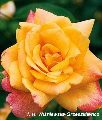 Róża wielkokwiatowa 'Sutters Gold' Rosa 'Sutters Gold'  Kwiaty są złotożótte z czerwonawym brzegiem, średniej wielkości i o niewielkiej l...