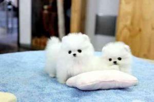 Regalo Cachorros Pomeranian Para Adopción.