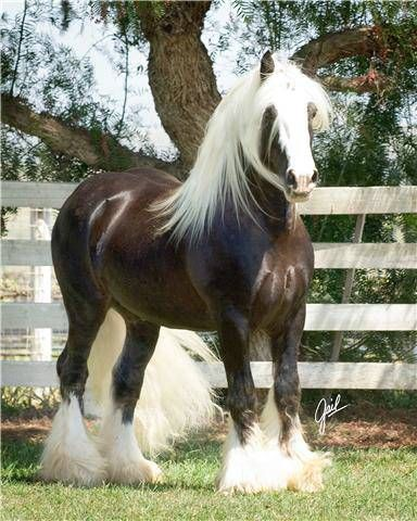 chocolate palomino Gypsy Vanner!