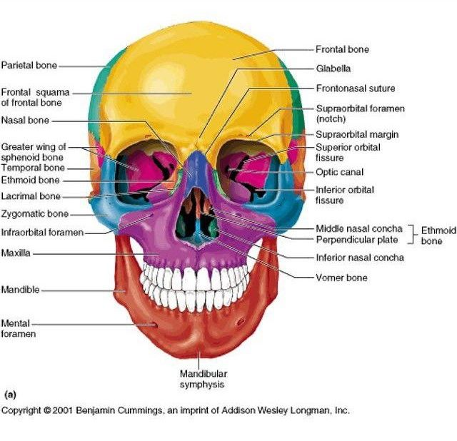 get your skull game up with this colorful chart on facial bones, Human Body