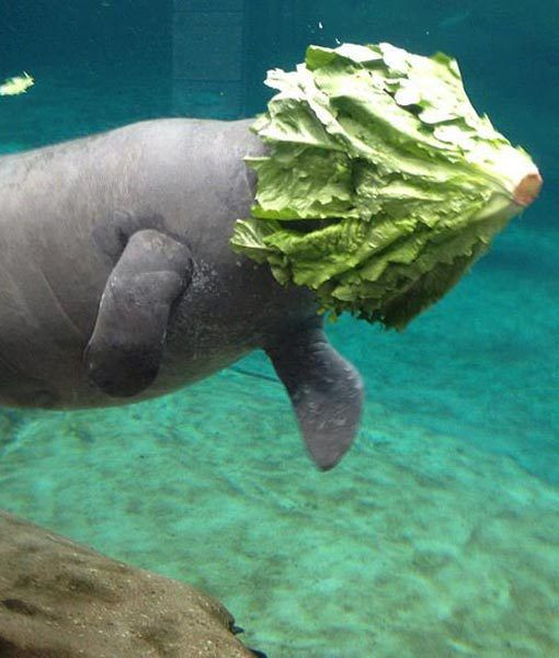 This hilarious picture shows a manatee at the Columbus Zoo in Ohio having a bit of trouble devouring some romaine lettuce.