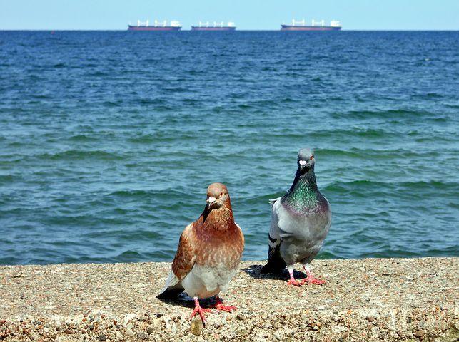Pigeons, Sea, The Baltic Sea, Para