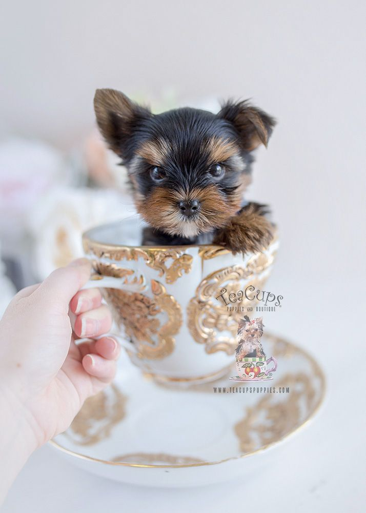 Adorable Yorkie puppy by TeaCups, Puppies & Boutique #yorkie #teacupyorkie  #yorkshireterrier #puppy #puppies #dog #dogs #…   Teacup puppies, Yorkie,  Yorkie puppy
