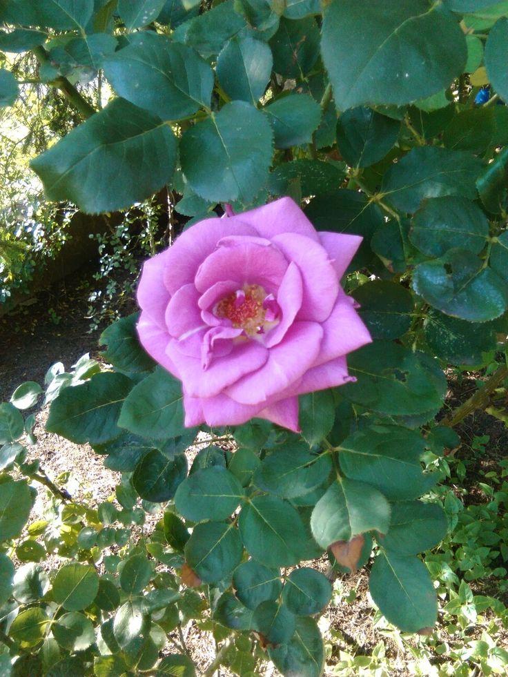 Szép rózsaszín rózsa