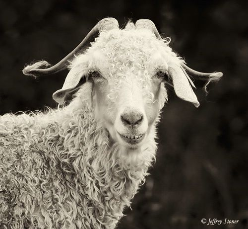 """""""Nash"""" is one of a herd of Angora goats on the Roan Mountain Highlands near the Appalachian Trail which runs along the Tennessee / North Carolina border.    The goats spend the summer on the mountain balds at 5800-5900' in elevation as part of the Baatany Goat project.  The 10-year project is designed to determine if the goats can naturally control the spread of the Canadian Blackberry and other invasive plants."""