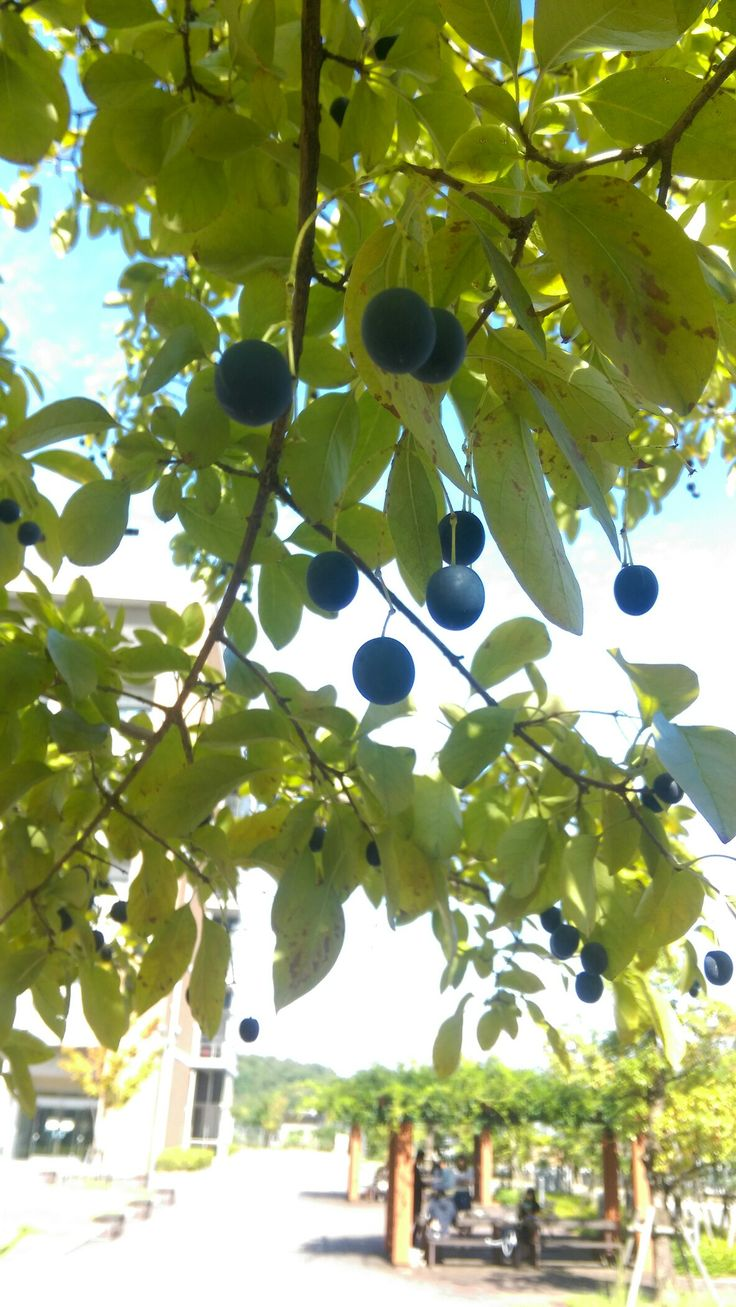 Fruits of Chinese fringetree (Chionanthus retusus). Look like olives.