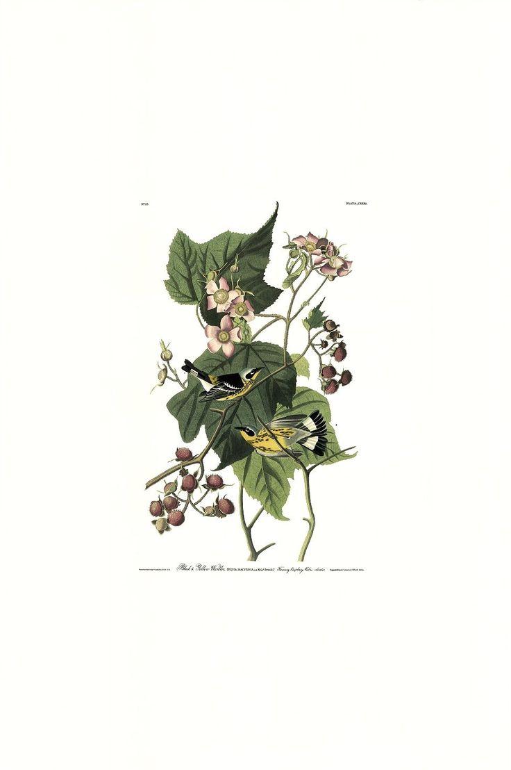 Princeton Audubon Black & Yellow Warbler