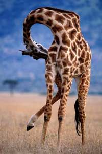 If a giraffe's neck only has seven vertebrae, how is it so ...