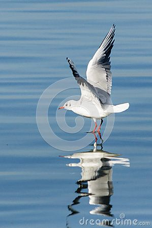 Seagull landing or take off. Clear blue water. Reflection.