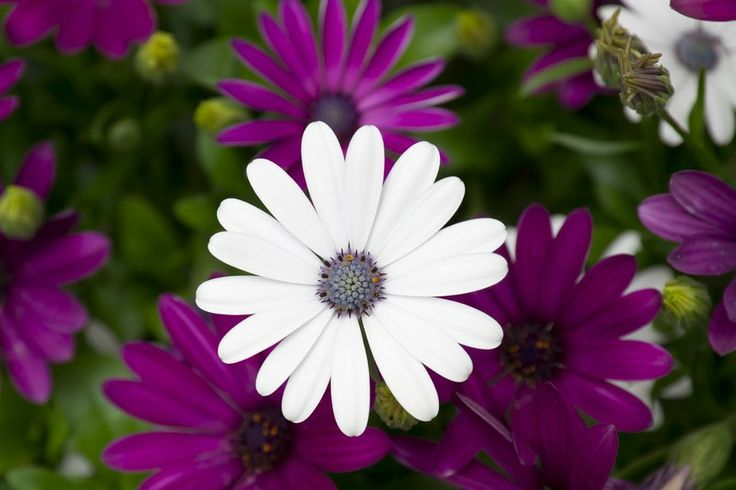 One white amoung purples. by Karen-Louise Clemmesen on 500px