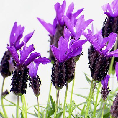 Lavandula stoechas - vlinderlavendel - kuiflavendel - Franse lavendel: snoeien lavendel, stekken, soorten lavendel,...