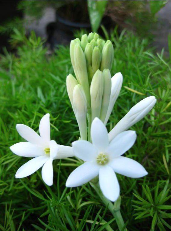 Gambar Bunga Sedap Malam Pesonadunia Pinterest