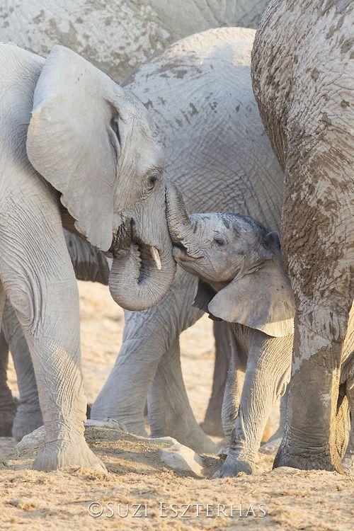 © Suzi Eszterhas - African Elephant Loxodonta africana Young calf playing with sub-adult Etosha National Park, Namibia