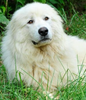 Akbash Maremma Dog / Turkish Shepherd / Akbaş Çoban Köpeği / Akbas Coban Kopegi / Акбаш