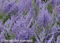 perowskia łobodolistnaLACEY BLUE 'Lisslitt' - Perovskia atriplicifolia LACEY BLUE'Lisslitt' PBR