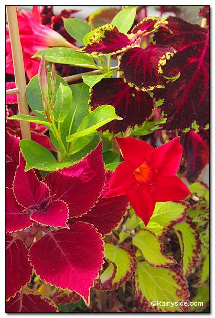 Care Mandevilla Sun Parasol Crimson