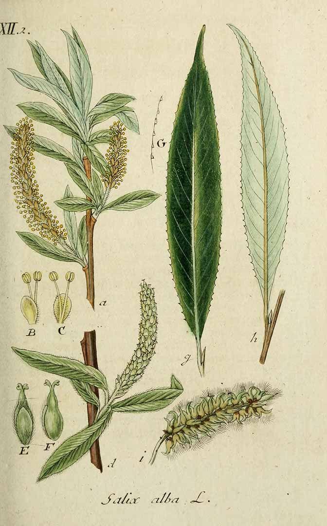 293908 Salix alba L. / Sturm, J., Sturm, J.W., Deutschlands flora, vol. 7: t. [16] (1808-1809)