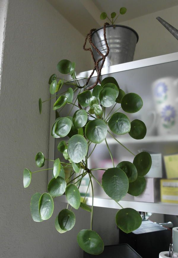 Pilea Peperomioides cascading from an upper shelf.