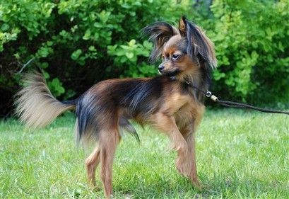 RUSSIAN TOY TERRIER/RUSSKY TOY