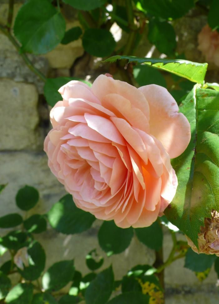 Yet more scent, and subtle color: Rosa Leander,