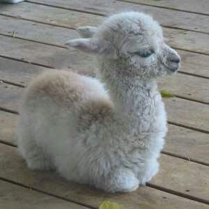 So fuzzy.. Baby alpaca
